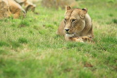 Lying lioness Stock Photography