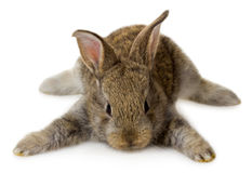 Lying little gray rabbit. Close-up lying little gray rabbit, isolated on white Stock Images