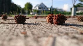 Lying Low. Dried fruits of Casuarina Equisetifolia on the concrete pavement Stock Images