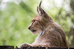 Lying lynx Royalty Free Stock Images