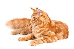 Lying Maine Coon cat Royalty Free Stock Photo
