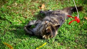 Lying Maine Coon cat playing on the grass Royalty Free Stock Photos