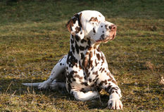 Lying Male Dalmatian Stock Photo