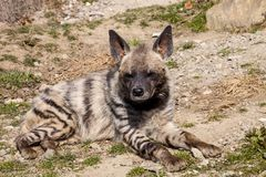 Lying male Striped Hyaena, Hyaena Hyaena, Royalty Free Stock Photography
