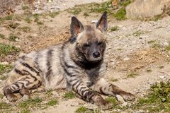 Lying male Striped Hyaena, Hyaena Hyaena, Royalty Free Stock Image