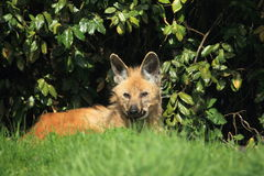 Lying maned wolf Stock Photos