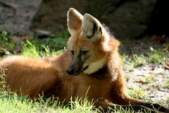 Lying maned wolf in sun Stock Photos