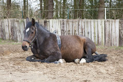 Lying mare with Birth Alarm Royalty Free Stock Image