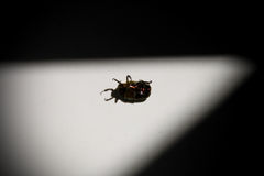 Lying may beetle at bathtub Royalty Free Stock Photography