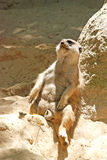 Lying meerkat Stock Images