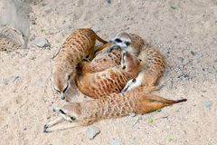 Lying Meerkats in a Prague Zoo Stock Photos