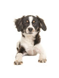 Lying mixed breed cute black and white puppy dog Stock Photos