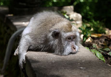 Lying monkey Royalty Free Stock Photos