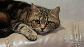 Lying nervous cat on the sofa stock footage