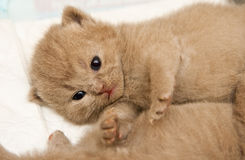 Lying Newborn British Kitten Royalty Free Stock Images