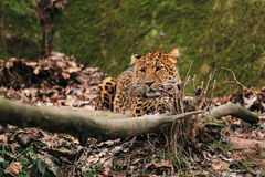Lying north china leopard Royalty Free Stock Photo