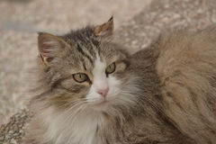 Lying norwegian forest cat Stock Photos