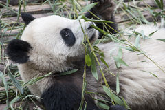 Lying panda  (Giant Panda) Stock Photos