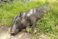 Lying pig. Pig lying on the grass stock photos