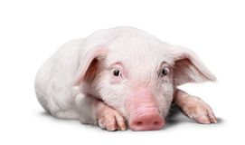 Pig lying in studio on white background. Lying pig domestic animals farm animals livestock farming livestock feed livestock breeding stock photos