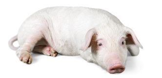 Pink Pig Lying Down on the Ground. Lying pig domestic animals farm animals livestock farming livestock feed livestock breeding royalty free stock photography