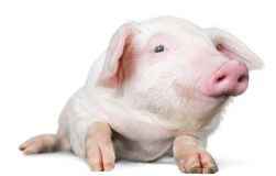 Smiling piglet laying down - isolated image. Lying pig domestic animals farm animals livestock farming livestock feed livestock breeding stock photo
