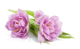 Lying pink tulips Stock Image