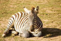 Lying plains zebra, Equus quagga. One lying plains zebra, Equus quagga Royalty Free Stock Photos