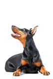 Lying playful dobermann pinscher on isolated white Stock Photography