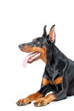 Lying playful dobermann pinscher on isolated white Royalty Free Stock Photography