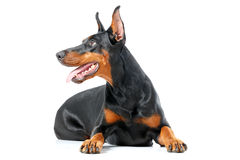 Lying playful dobermann pinscher on isolated white Stock Images