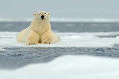 Lying polar bear on drift ice arctic Svalbard Stock Photography