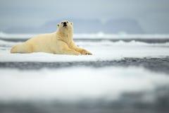 Lying polar bear on drift ice arctic Svalbard Stock Images