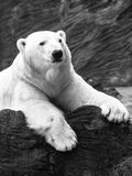 Lying polar bear Stock Photos