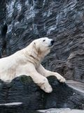 Lying polar bear Royalty Free Stock Photography