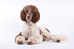 Lying poodle Stock Images
