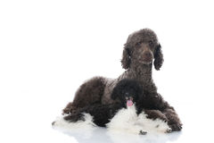 Lying poodles Royalty Free Stock Image