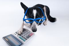 Lying portrait of dog with calculator. Lying portrait of dog in blue funny glasses with calculator Stock Photography