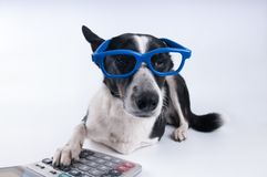 Lying portrait of dog with calculator. Lying portrait of dog in blue funny glasses with calculator Stock Images