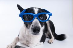 Lying portrait of dog with calculator. Lying portrait of dog in blue funny glasses Royalty Free Stock Images