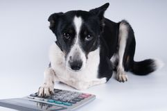Lying portrait of dog with calculator. And looking at camera Royalty Free Stock Images