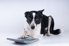 Lying portrait of dog with calculator. And looking at camera Stock Photography
