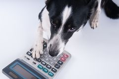 Lying portrait of dog with calculator. And looking at camera Stock Photos