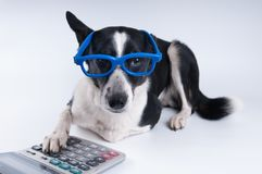 Lying portrait of dog with calculator. And looking at camera Royalty Free Stock Photography