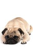 Lying pug Royalty Free Stock Photos