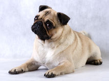Lying pug. Stock Photo