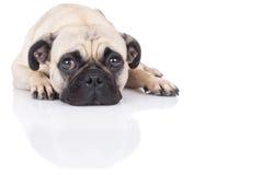 Lying pug Stock Photography
