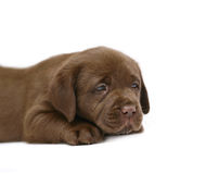 Lying puppy. The puppy of breed Labrador Retriver Stock Photography