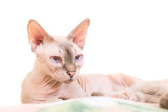Lying purebred sphinx cat Royalty Free Stock Photos
