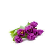 Lying purple tulips with droplets and empty space Royalty Free Stock Images